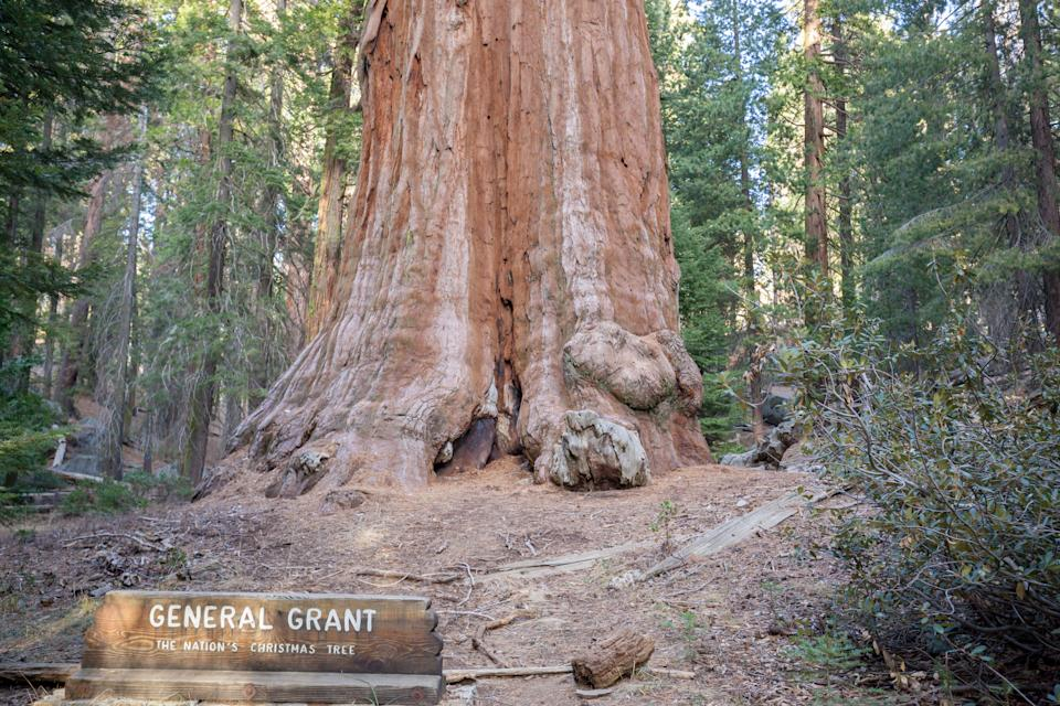 Trunk of the General Sherman tree located in  Sequoia National Park, California, USA, by volume, it is the largest known living single stem tree on Earth