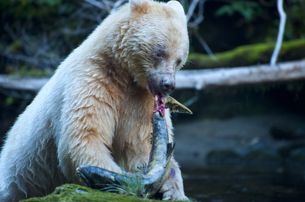 <b>Spirit Bear</b> (Ursus americanus kermodei)<br>British Columbia, Canada<br><br>Spirit bears -- a creamy-colored subspecies of the black bear -- are so rare that only about 400 or so are left in the wild.