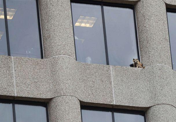 PHOTO: A raccoon sits on the ledge of an office window in the UBS Tower in downtown St. Paul, Minn., June 12, 2018. (Richard Tsong-Taatarii/Star Tribune via AP)