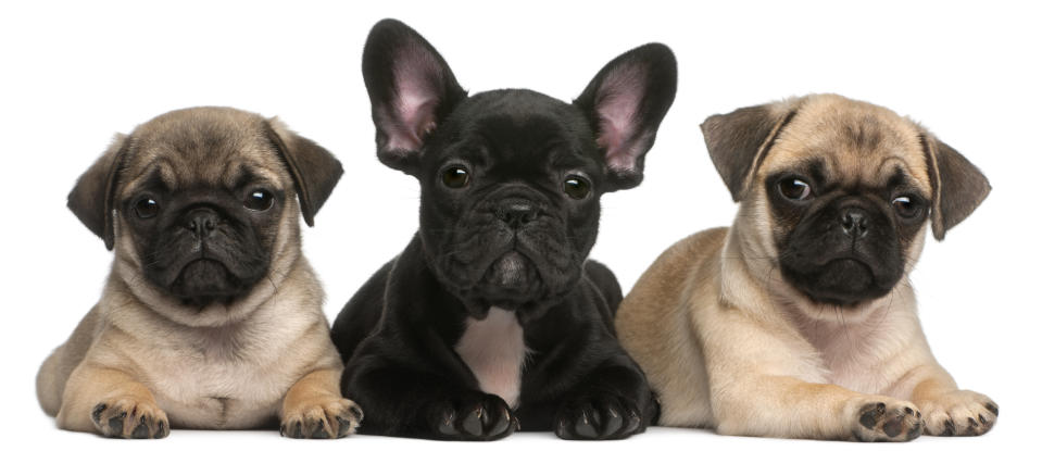 New research has revealed 'trendy' puppies could be at risk for overbreeding. (Getty Images)