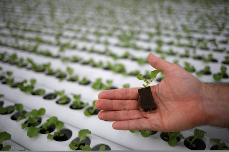 Comcrop CEO Peter Barber shows vegetable seedlings at his rooftop hydroponics farm at an industrial estate in Singapore May 17, 2019. Picture taken May 17, 2019. REUTERS/Edgar Su