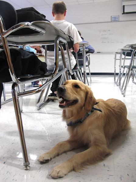 """In this Jan. 14, 2013 photo, Junie, a """"therapy dog"""" at Prospect High School, lies on the floor in a classroom in Mt. Prospect, Ill. The 18-month-old golden retriever is one way this school is trying to help students cope with a rise in stress, anxiety and panic attacks. Many say these issues are a problem in schools across the country. (AP Photo/Martha Irvine)"""