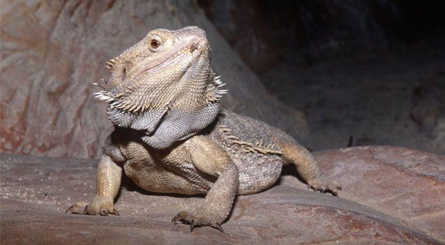 Facebook users took to the internet to suggest they were lizard eggs instead, most likely either those of water dragons or bearded dragons (pictured). Source: Getty (stock image)