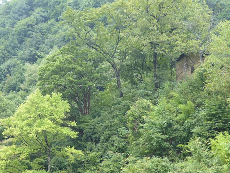 The endangered Acer griseum, the paperbark maple, in the wild in China (Anthony S. Aiello)