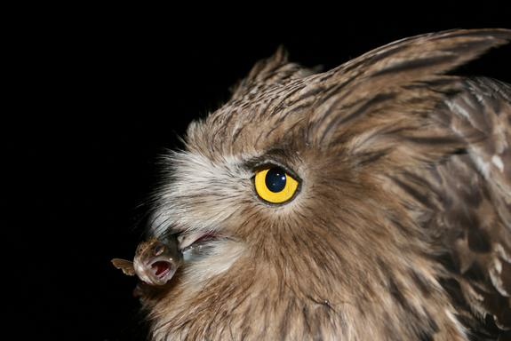 An endangered Blakiston's fish owl captures an unsuspecting Masu salmon smolt in Primorye, Russia.