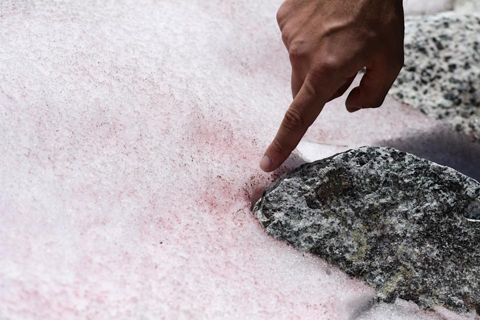 Biagio di Maio, researcher at CNR (National Research Council) shows pink colored snow on July 4, 2020 on the top of the Presena glacier near Pellizzano, . - The pink color of the snow is supposedly due to the presence of colonies of algae of the species Ancylonela nordenskioeldii from Greenland. (Photo by Miguel MEDINA / AFP) (Photo by MIGUEL MEDINA/AFP via Getty Images)