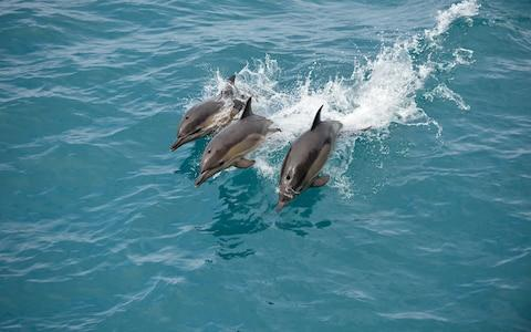 Trio of dolphins - Credit: Star Clippers