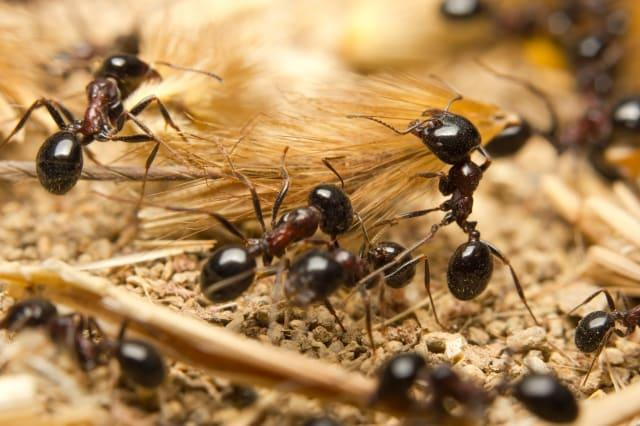 Macro of Black worker ants