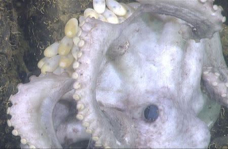 Handout of a deep-sea octopus is shown on the ledge near the bottom of Monterey Canyon