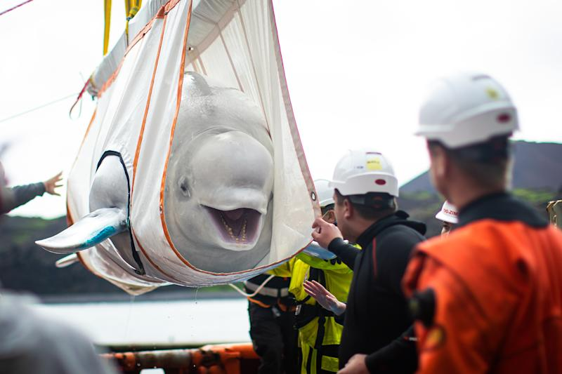 The Sea Life Trust team move Beluga Whale Little Gray from a tugboat during transfer to the bayside care pool where they will be acclimatised to the natural environment of their new home at the open water sanctuary in Klettsvik Bay in Iceland. The two Beluga whales, named Little Grey and Little White, are being moved to the world's first open-water whale sanctuary after travelling from an aquarium in China 6,000 miles away in June 2019.