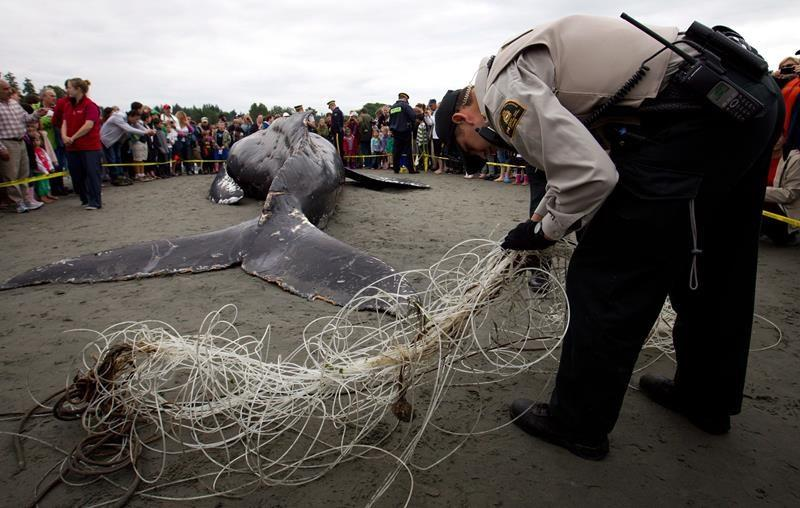 Rescue groups and fisheries officials race to save entangled humpback whales