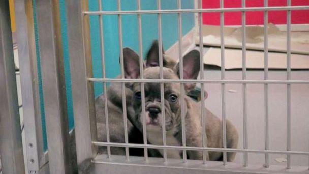 PHOTO: A Lavender French Bulldog shown in a veterinary facility at JFK. Officials say the dogs imported from Egypt are underage and come from bad conditions, but could be worth $10,000 in the U.S. (Center for Disease Control and Prevention)