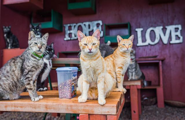<p>Kitties sit next to cat treats in the shade at the Lanai Cat Sanctuary in Hawaii. (Photo: Andrew Marttila/Caters News) </p>