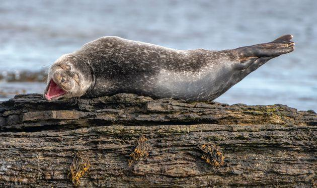 """This photo, titled """"Having a Laugh,"""" features a common seal in Caithness, Scotland."""