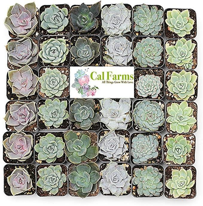 """<h2>CAL Farms 2"""" Rosettes Succulents <br></h2><br><strong>The Hype:</strong> 4.8 out of 5 stars and 321 reviews<br><br><strong>Plant Parents Say:</strong> """"It has been two weeks since I got two packs for wedding favors. Some of them are bigger than others, but they all look healthy. I replanted them in small, white pots yesterday. They look beautiful!""""<br><br><em>Shop</em> <strong><em><a href=""""https://amzn.to/3nzW1tt"""" rel=""""nofollow noopener"""" target=""""_blank"""" data-ylk=""""slk:CAL Farms"""" class=""""link rapid-noclick-resp"""">CAL Farms</a></em></strong><br><br><strong>CAL Farms</strong> Rosettes Succulents, $, available at <a href=""""https://amzn.to/38FTl7p"""" rel=""""nofollow noopener"""" target=""""_blank"""" data-ylk=""""slk:Amazon"""" class=""""link rapid-noclick-resp"""">Amazon</a>"""