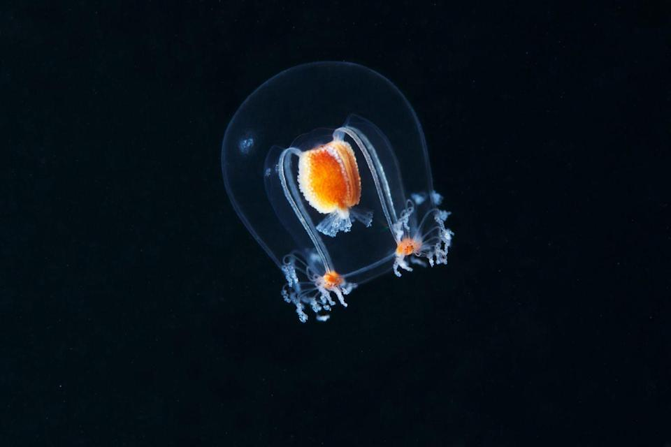 """<p>Pictured here, the hydrozoan jellyfish (part of the bougainvillia superciliaris family) measures a mere one centimeter in size. </p><p><strong>Related: </strong><a href=""""https://www.redbookmag.com/life/g32629213/sealife-photos/"""" rel=""""nofollow noopener"""" target=""""_blank"""" data-ylk=""""slk:Gorgeous Photos of Sea Life That Will Take Your Breath Away"""" class=""""link rapid-noclick-resp""""><strong>Gorgeous Photos of Sea Life That Will Take Your Breath Away</strong></a> </p>"""