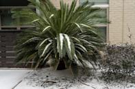 <p>A cycad tree is covered by ice and snow on Feb. 16. </p>