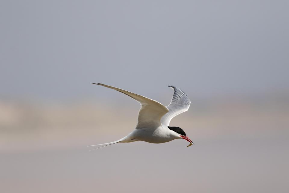 Arctic Tern in flight at Long Nanny, Northumberland