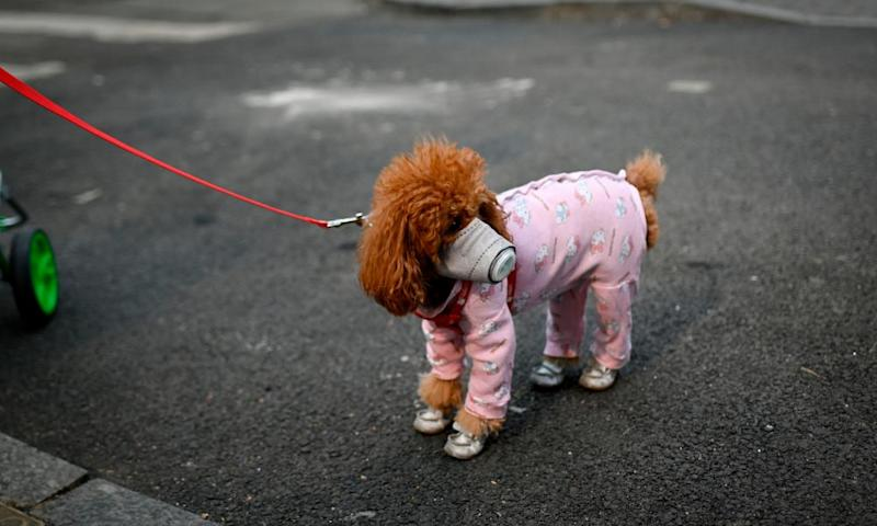 A dog wearing a face mask in Beijing as the number of coronavirus cases in China continue to rise.