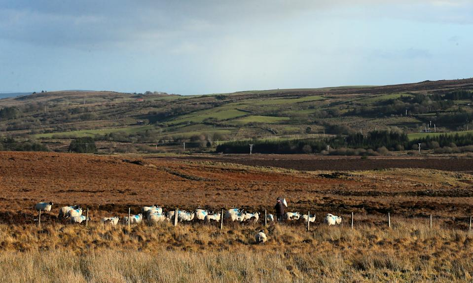 A sheep farmer feeds his flock in a field between Fintona and Fivemiletown in County Tyrone.