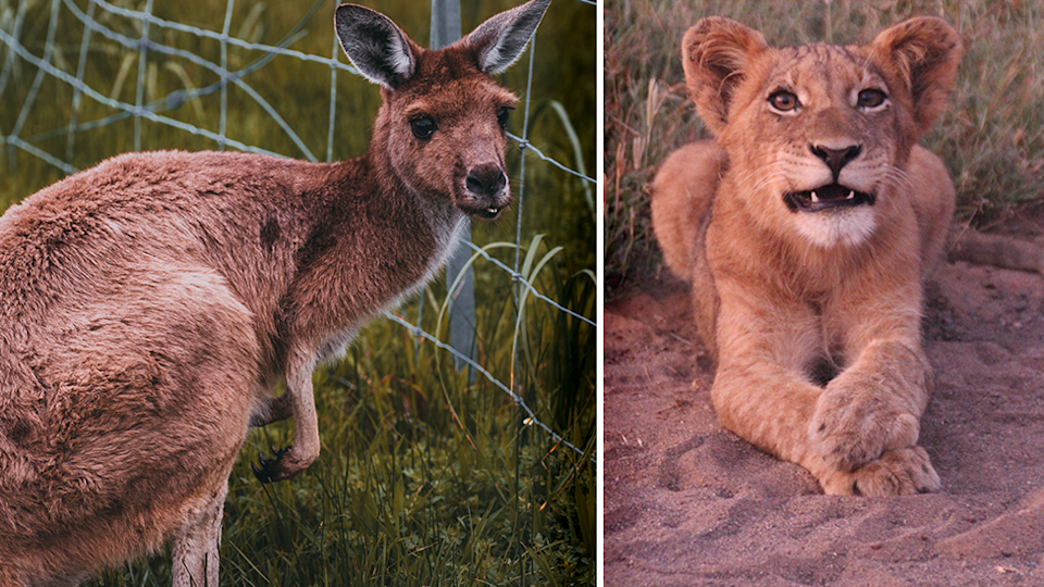 Right - a kangaroo against a fence. Right - a lion cub looks to camera.