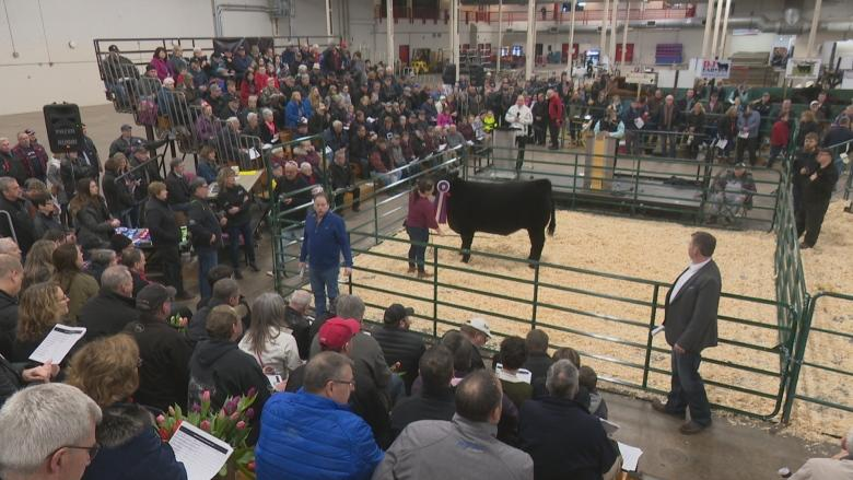 P.E.I.'s best beef on display at 67th Easter Beef Show and Sale