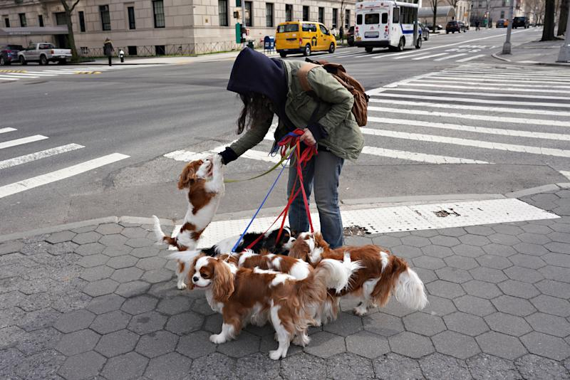 NEW YORK, NEW YORK - MARCH 18: A dog walker and a pack of Cavalier King Charles Spaniels are seen in Central Park as the coronavirus continues to spread across the United States on March 18, 2020 in New York City. The World Health Organization declared coronavirus (COVID-19) a global pandemic on March 11th. (Photo by Cindy Ord/Getty Images)