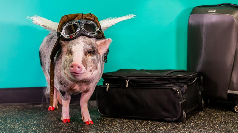 LiLou is a certified therapy animal who visits San Francisco International Airport to cheer up stressed travelers. (Photo: Courtesy of San Francisco International Airport)