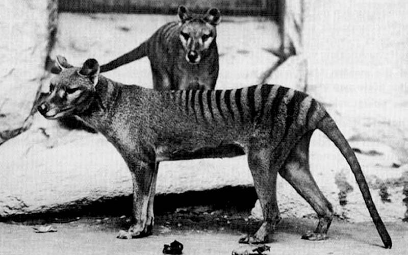 Two Tasmanian tiger cubs at the National Zoo in Washington D.C. in 1902 - PA