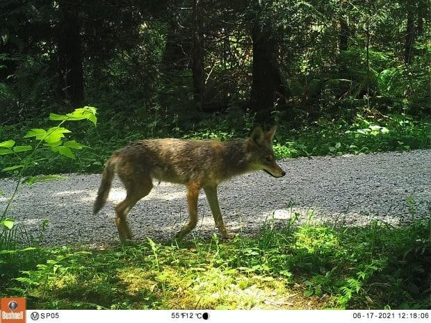 A coyote in Vancouver's Stanley Park captured by a motion-sensor camera in June. (Submitted by Kristen Walker - image credit)