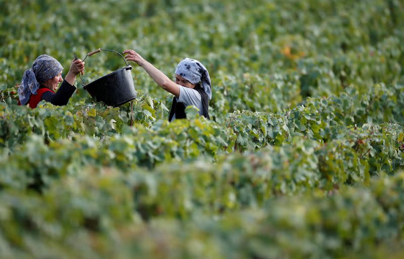 FILE PHOTO: Workers collect grapes in a Taittinger vineyard during the traditional Champagne wine harvest in Pierry