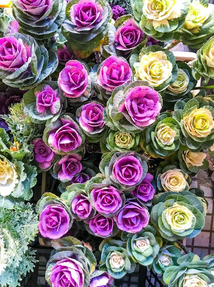 """<p>Who knew cabbage and kale could be so stunning? These ornamental types show off rosettes of pale pink, white and fuchsia, and they can handle a heavy frost. They'll be some of the last flowers to fade in northern climates, and in warm climates, they may last most of the winter. They even make a pretty cut flower!</p><p><a class=""""link rapid-noclick-resp"""" href=""""https://go.redirectingat.com?id=74968X1596630&url=https%3A%2F%2Fwww.burpee.com%2Fornamental-kale-crane-pink-hybrid-prod500639.html&sref=https%3A%2F%2Fwww.housebeautiful.com%2Fdesign-inspiration%2Fg37704306%2Fthe-10-best-plants-for-fall-color%2F"""" rel=""""nofollow noopener"""" target=""""_blank"""" data-ylk=""""slk:SHOP NOW"""">SHOP NOW</a></p>"""
