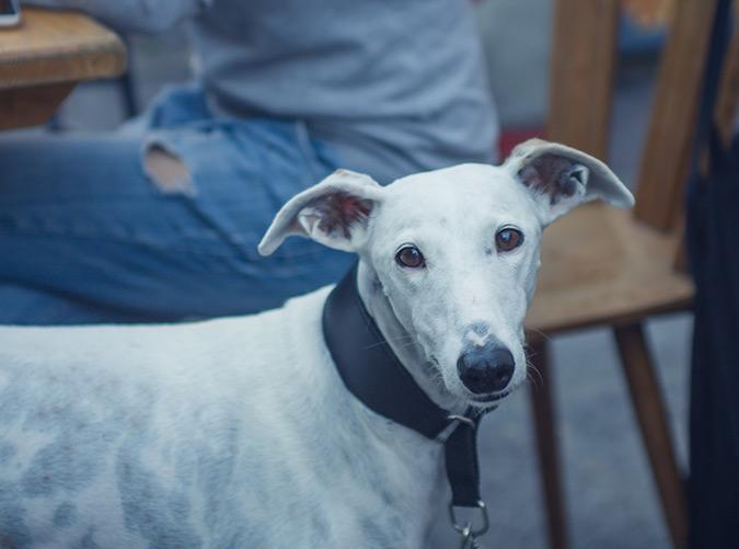 <h2>Greyhound</h2> <p>For the family looking for a chill, low-maintenance companion, these pups have a truly wonderful temperament—they're non-aggressive, kind and very intelligent.</p>