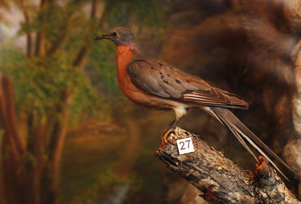 "<p>Estimates say that the passenger pigeon population numbered in the millions—and possibly billions—when the first Europeans began settling in America. <a href=""http://mentalfloss.com/article/58678/10-facts-about-extinct-passenger-pigeon"" rel=""nofollow noopener"" target=""_blank"" data-ylk=""slk:MentalFloss"" class=""link rapid-noclick-resp"">MentalFloss</a> reports that Wisconsin was home to largest known nesting site in the late 1800s.</p><p><strong>Cause of Extinction: </strong>humans hunted the pigeon and consumed it to the point of extinction with the last known bird dying in captivity in the Cincinnati Zoo in 1914.</p>"