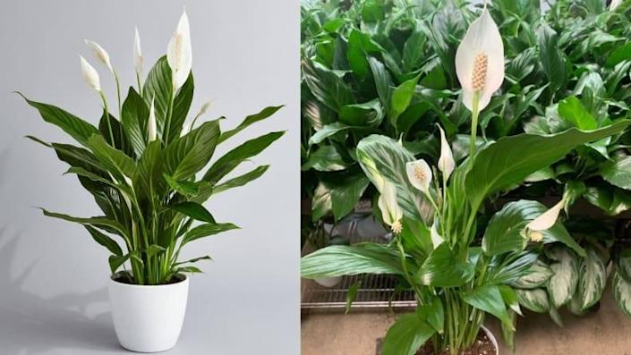 Keep the peace (and pollutants out of the air) with this highly rated Peace Lily plant.