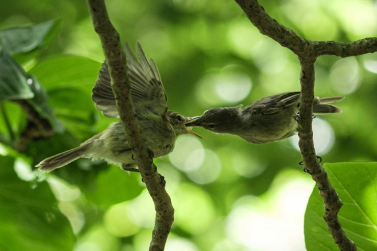 A conservation group bought the tiny Seychelles isle of Cousin Island in 1968 to save a songbird, the Seychelles Warbler, from extinction (AFP Photo/Yasuyoshi CHIBA)