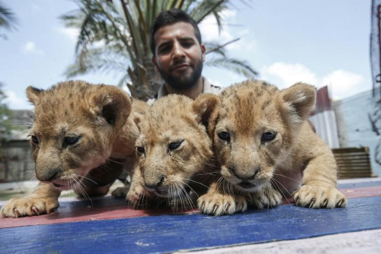 The cubs are removed from their mother to play with visiting children (AFP Photo/SAID KHATIB)