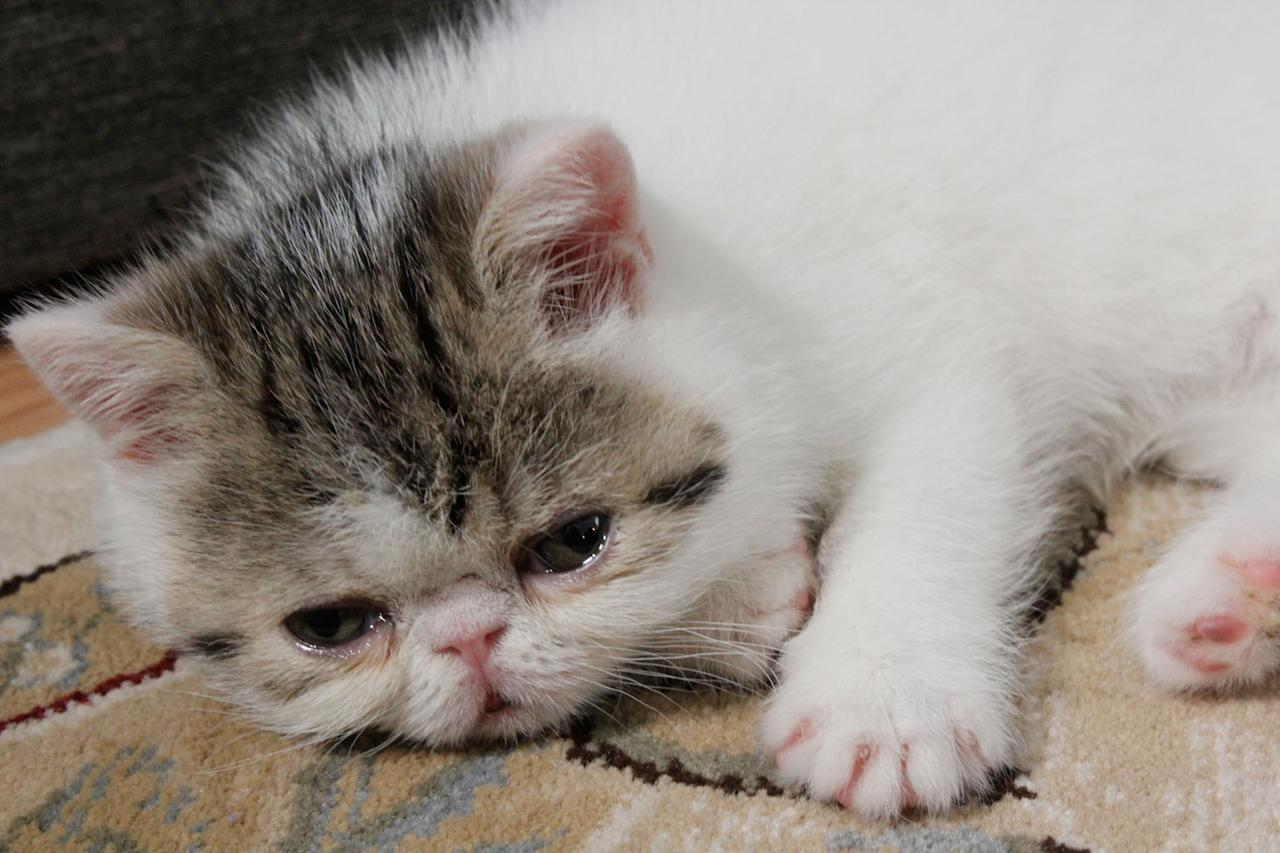 "An Exotic Shorthair featured on Animal Planet's ""Too Cute! Kittens."""