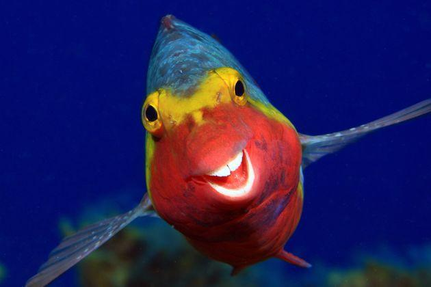 """""""Smiley"""" is an image of a Sparisoma cretense in El Hierro, Canary Islands."""