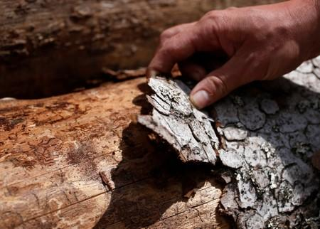 An employee of the ONF (French national forests office) looks at the trunk of a tree marked by traces of bark beetles near Masevaux