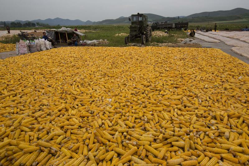 In this Sept. 12, 2012 photo, ears of field corn lay in piles along a roadside during the autumn corn harvest on a farm on the edge of Kaesong, North Korea. It has been a tough year for North Korea's farmers, who grappled with an extended dry spell in the spring, followed by heavy rains from a series of summer storms and typhoon. The U.N. is launching a field mission across North Korea to gauge the state of the food situation. (AP Photo/David Guttenfelder)