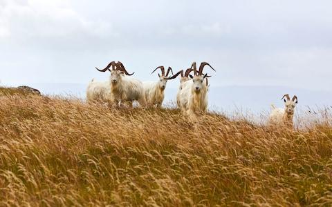 Goat great Orme - Credit: istock