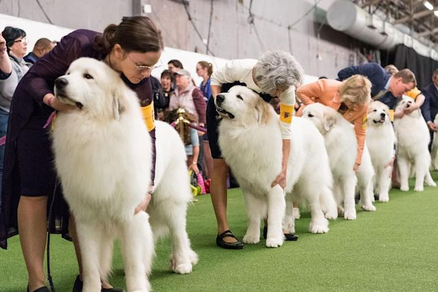<p>Participants compete with their pet dogs in the 142nd Annual Westminster Kennel Club Dog Show hosted in New York, Feb. 13, 2018. (Photo: Michael Brochstein/SOPA Images/LightRocket via Getty Images) </p>