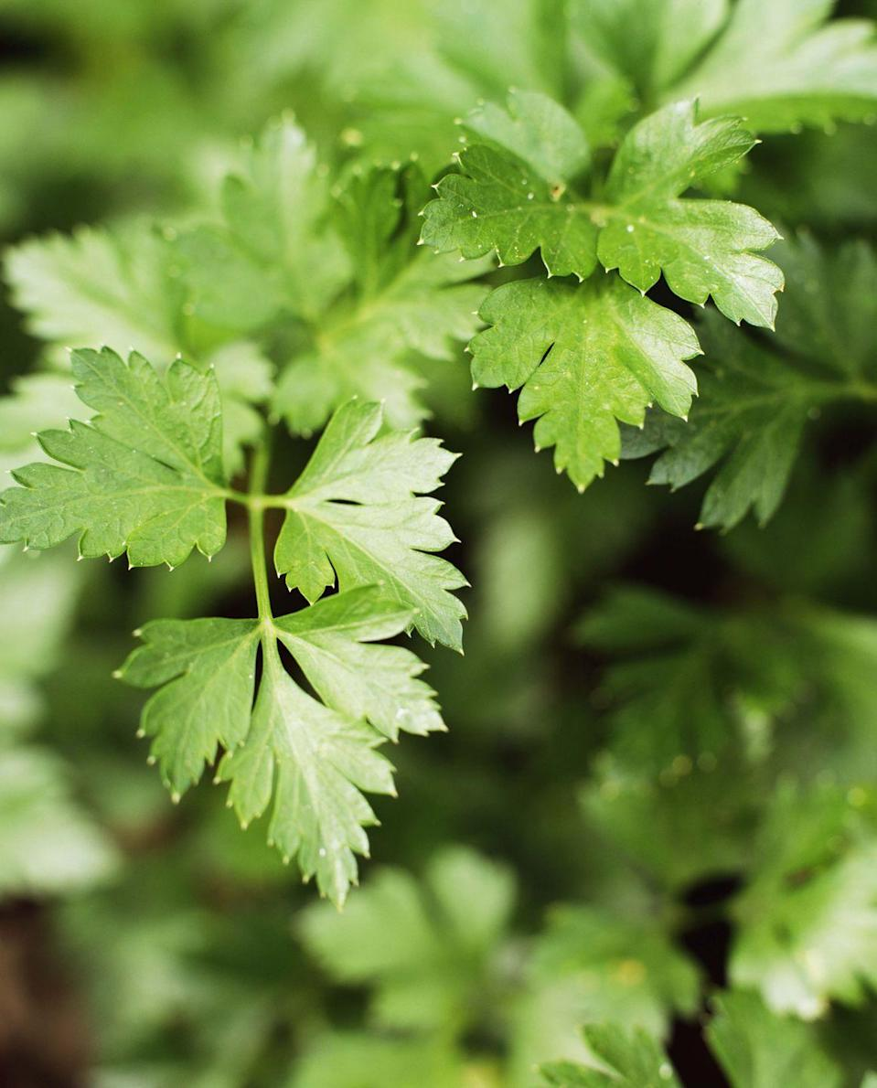 <p>There are many varieties of parsley, including flat-leaf, curly, and Italian. Parsley is a flowering herb with small white clumps of flowers like Queen Anne's Lace. This herb is used in many food cultures in a variety of ways, such as garnishing salads or as an ingredient in marinades for meat and potatoes.</p>