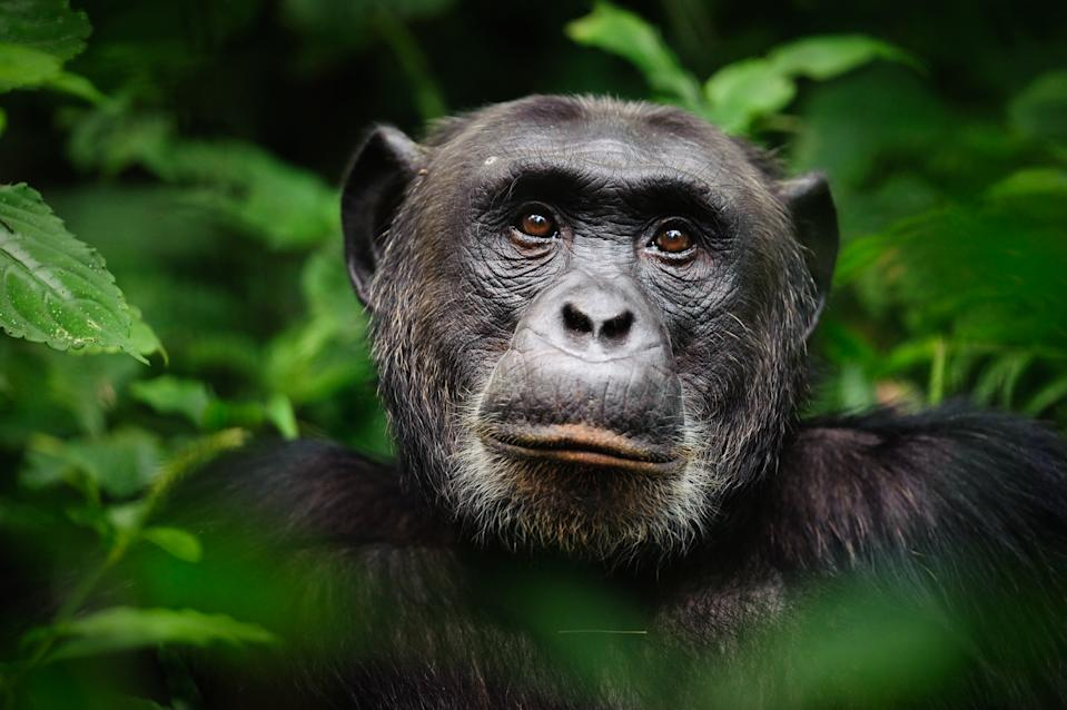 An extreme closeup portrait of the alpha male chimpanzee (Pan troglodytes), Kibale Forest National Park, Uganda.
