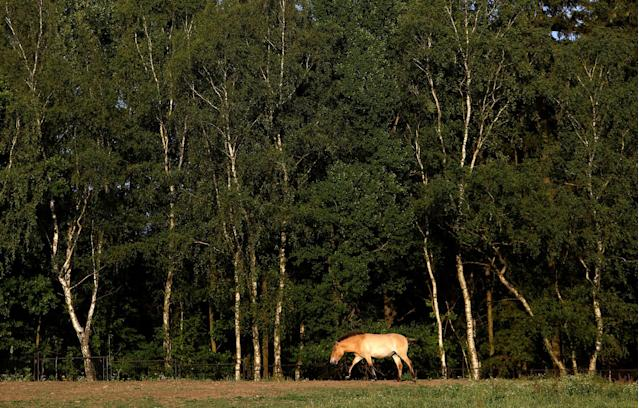 <p>A Przewalski's horse walks on a meadow at the acclimatization enclosure in the village of Dolni Dobrejov near the city of Tabor, Czech Republic, June 18, 2017. (Photo: David W. Cerny/Reuters) </p>