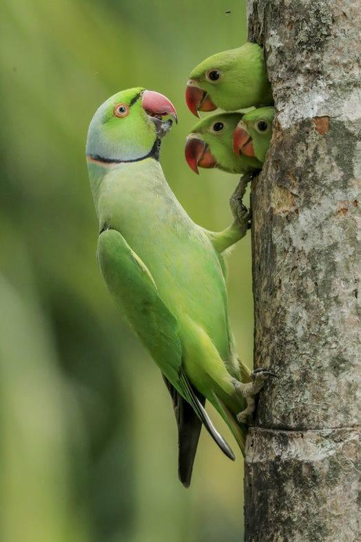 bright green parakeet welcomes three green chicks poking their heads out of a tree