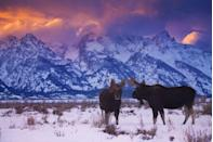 <p>A setting sun casts a purpleish/pink hue over the snow-capped mountains in Grand Teton National Park. The two young bull moose gathered near the base against the snow only makes this more special. </p>