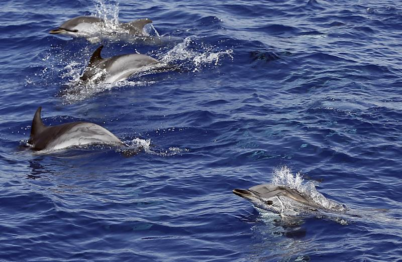 Dolphins swim in the Mediterranean sea on July 23, 2014 off the coast of Nice, France