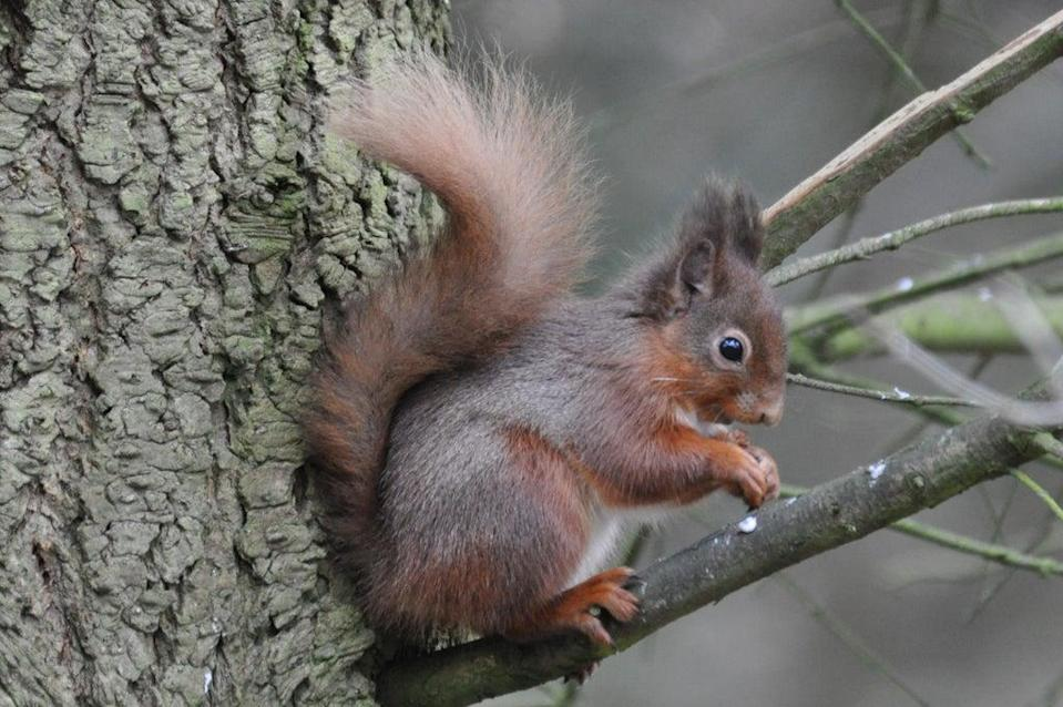 Red squirrel at Wallington, Northumberland (Norman Scott/National Trust/PA)
